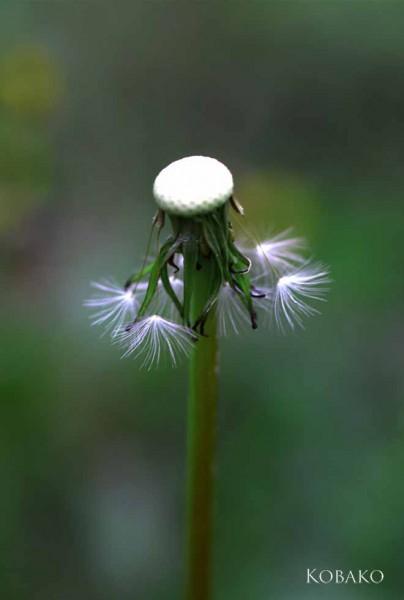 タンポポ種子2