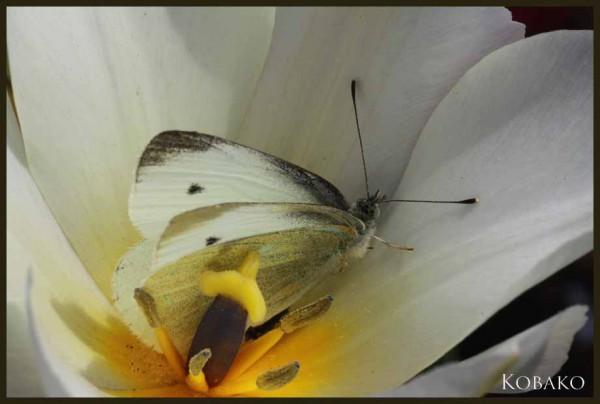 チューリップ蝶