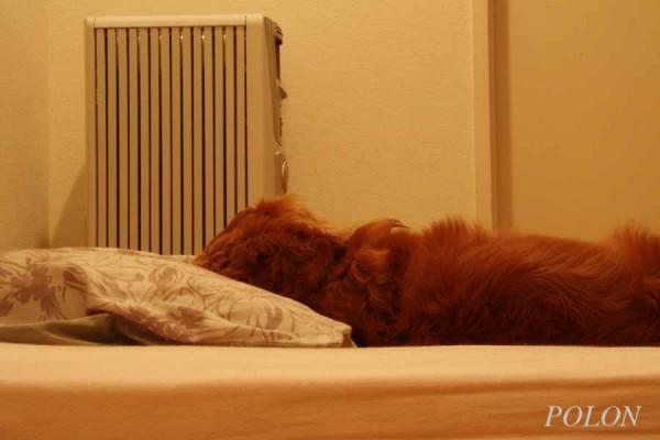 布団で寝る犬 枕
