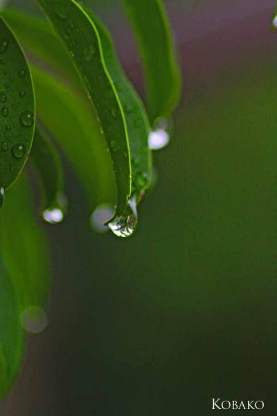水-葉の水滴