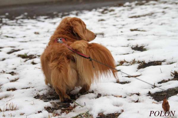 犬ミニチュアダックスフンド1
