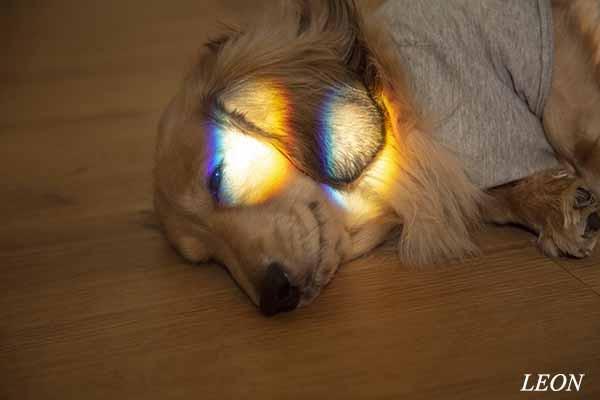 犬 ミニチュアダックス2020.12.1 LEON