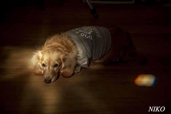 犬 ミニチュアダックス2020.12.1 NIKO